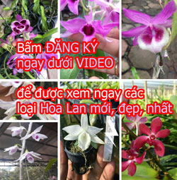 video hoa lan